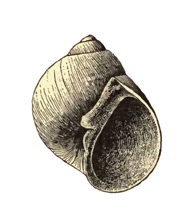 Specimen of <i>Sigatica caractica</i> figured by Dall (1900, pl. 42, fig. 6); 7.1 mm in length.