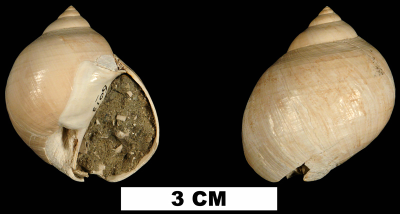 <i>Dallitesta coensis</i> from the Late Pliocene Jackson Bluff Fm. of Leon County, Florida (UF 115538).