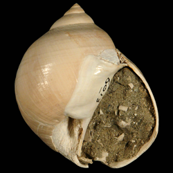 Dallitesta coensis