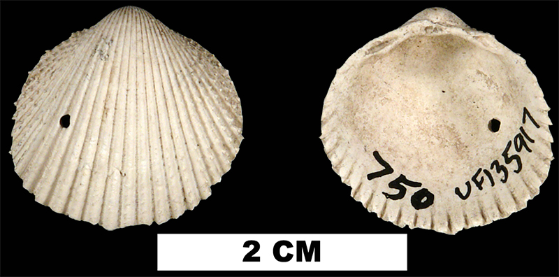 <i>Dallocardia muricata</i> from the Middle Pleistocene Bermont Fm. of Palm Beach County, Florida (UF 135917).