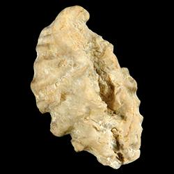 Dendostrea frondicula