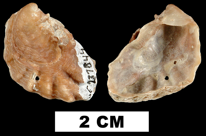 <i>Dendostrea frons</i> from the Late Pliocene Tamiami Fm. (Pinecrest Beds) of Sarasota County, Florida (UF 237844).