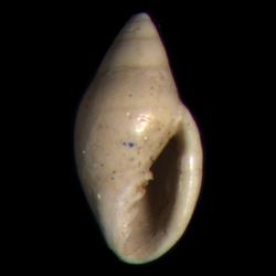 Dentimargo polyspira