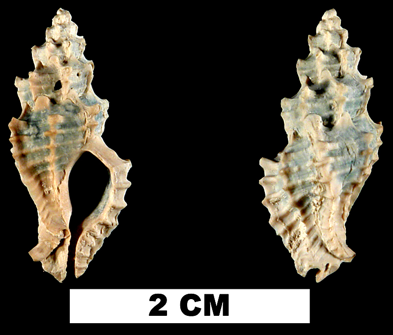 <i>Dermomurex alabastrum</i> from the Early Pleistocene Caloosahatchee Fm. or Middle Pleistocene Bermont Fm. of Glades County, Florida (UF 118946).