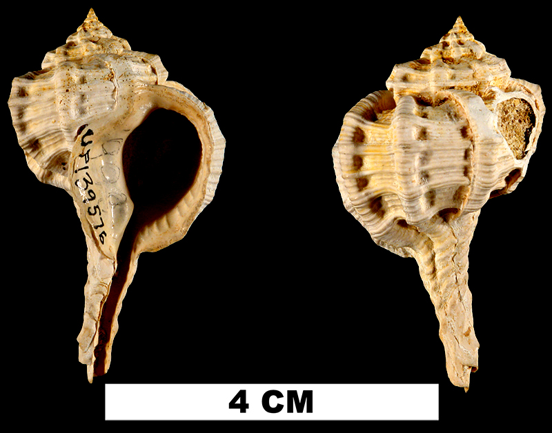 <i>Dermomurex vaughani</i> from the Early Miocene Chipola Fm. of Calhoun County, Florida (UF 139576).