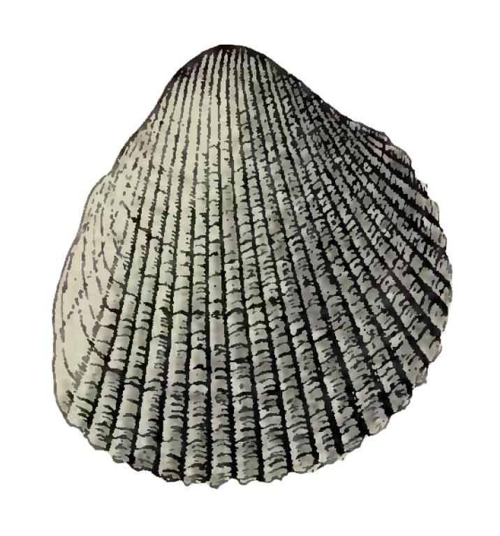 Specimen of <i>Dinocardium chipolanum</i> figured by Dall (1900, pl. 40, fig. 8); 36.0 mm in length.