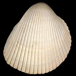 Dinocardium