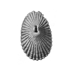 Diodora carolinensis
