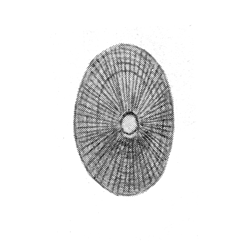 Diodora catilliformis