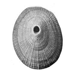 Diodora redimicula virgilina