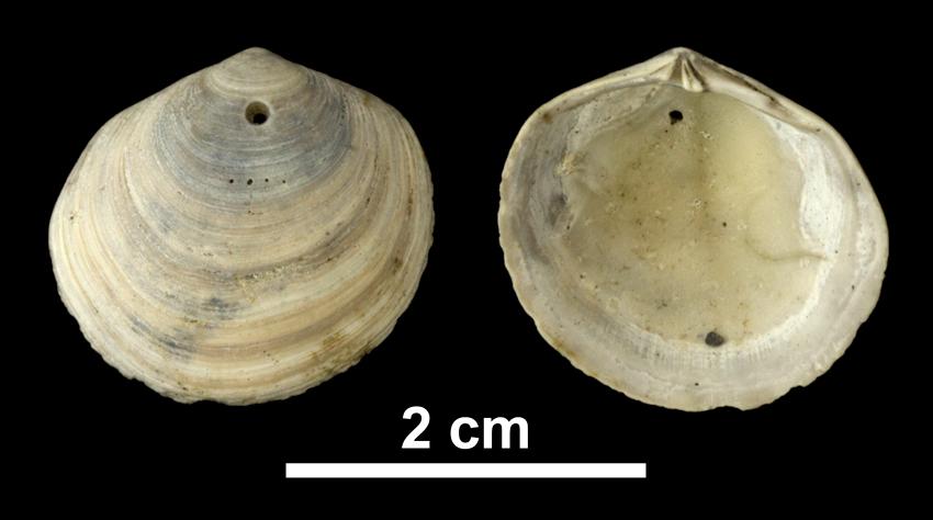 <i>Diplodonta acclinis</i> from the Early Pleistocene Waccamaw Fm. of Brunswick County, North Carolina (PRI 69974).