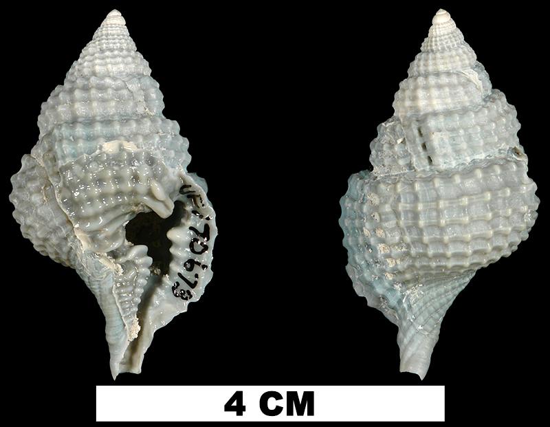 <i>Distorsio clathrata</i> from the Middle Pleistocene Bermont Fm. of Miami-Dade County, Florida (UF 170673).
