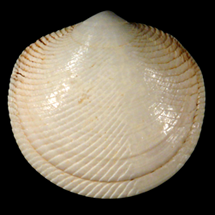 Divaricella chipolana