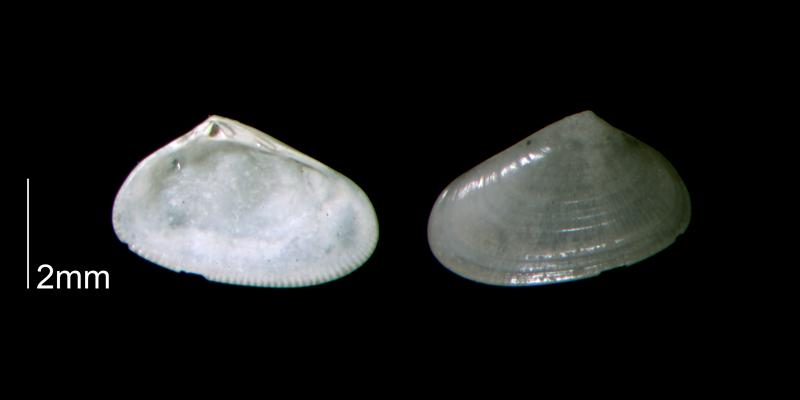 <i>Donax fossor</i> from the Early Pleistocene Waccamaw Fm. of Brunswick County, North Carolina (PRI 70437).
