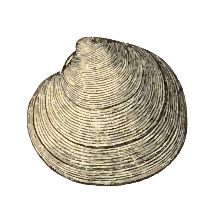 Specimen of <i>Dosinia chipolana</i> figured by Dall (1903, pl. 54, fig. 4); 40.0 mm in length.