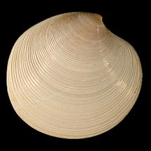 Dosinia chipolana