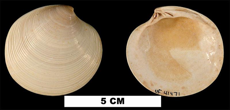 <i>Dosinia chipolana</i> from the Early Miocene Chipola Fm. of Calhoun County, Florida (UF 41471).
