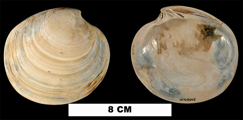 <i>Dosinia discus</i> from the Late Pleistocene Anastasia Fm. of Volusia County, Florida (UF 145446).