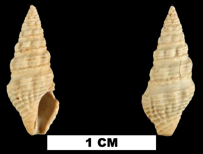 <i>Drillia acucincta</i> from the Early Pleistocene Caloosahatchee Fm. of Pinellas County, Florida (UF 206852).