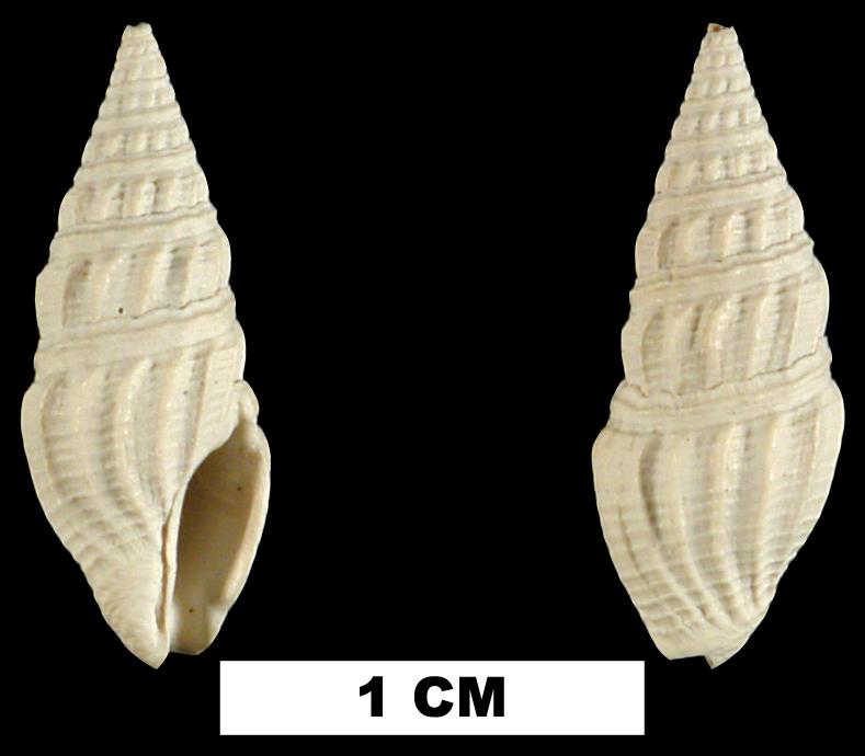 <i>Drillia ebenina</i> from either the Early Pleistocene Caloosahatchee Fm. or Middle Pleistocene Bermont Fm. of Glades County, Florida (UF 57939).