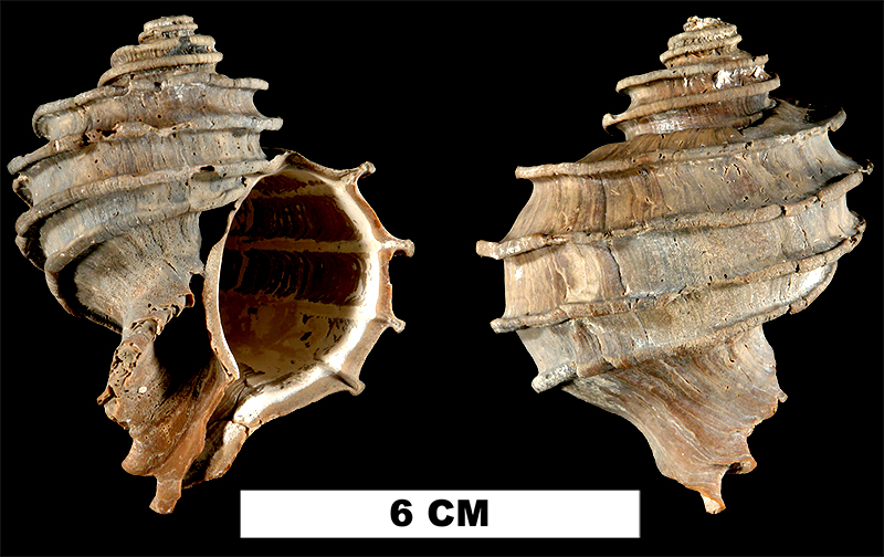 <i>Ecphora gardnerae</i> from the Late Pliocene Tamiami Fm. (Lower) of Sarasota County, Florida (UF 137299).