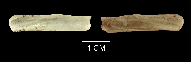 <i>Ensis leei</i> from the Late Pliocene Yorktown Fm. of Suffolk County, Virginia (SDSM 136141).