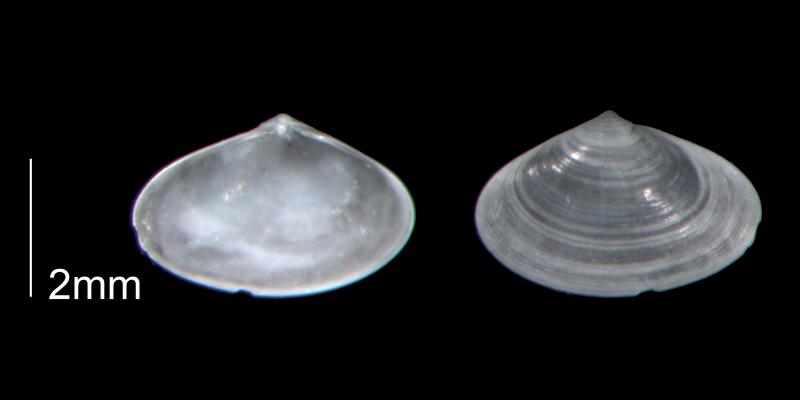<i>Ervilia lata</i> from the Early Pleistocene Waccamaw Fm. of Brunswick County, North Carolina (PRI 70459).