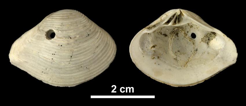 <i>Eucrassatella kauffmani</i> from the Early Pleistocene Waccamaw Fm. of Brunswick County, North Carolina (PRI 69977).