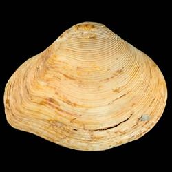 Eucrassatella chipolana