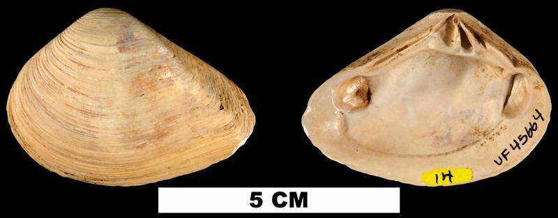 <i>Eucrassatella densa</i> from the Middle Miocene Shoal River Fm. of Walton County, Florida (UF 45664).