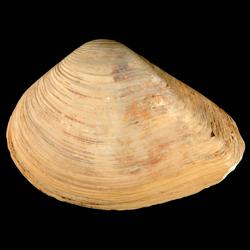 Eucrassatella densa