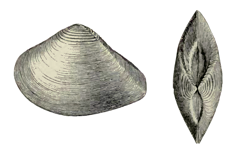 Specimen of <i>Eucrassatella meridionalis</i> figured by Dall (1900, pl. 37, fig. 6 and 13); 69 mm in length.