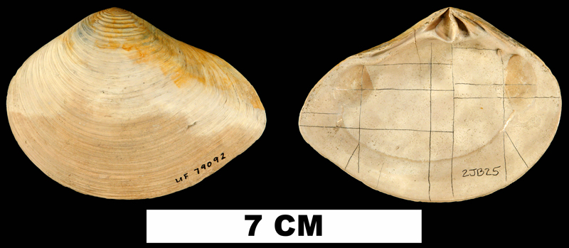 <i>Eucrassatella meridionalis</i> from the Late Pliocene Jackson Bluff Fm. of Liberty County, Florida (UF 79092).