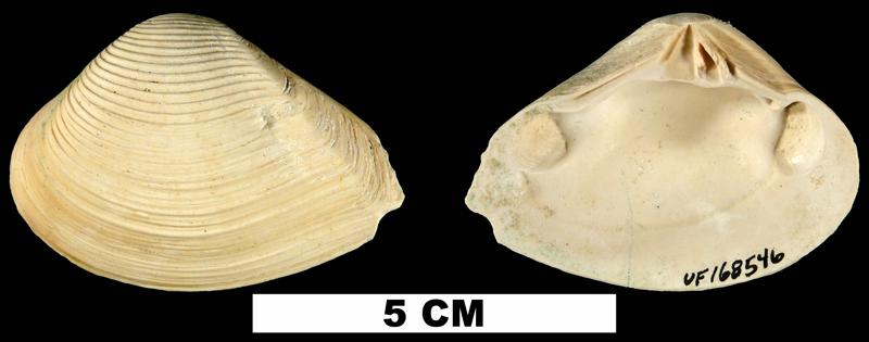 <i>Eucrassatella speciosa</i> from the Early Pleistocene Caloosahatchee Fm. of Miami-Dade County, Florida (UF 168546).