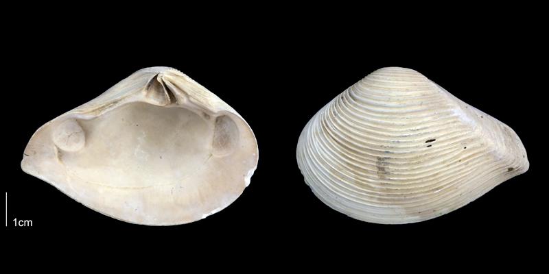 <i>Eucrassatella speciosa</i> from the Late Pliocene Tamiami Fm. (Pinecrest Beds) of Sarasota County, Florida (PRI 70076).