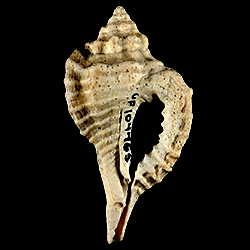 Eupleura miocenica