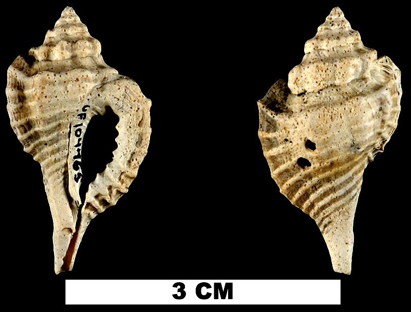 <i>Eupleura miocenica</i> from the Late Pliocene Tamiami Fm. (Pinecrest Beds) of Sarasota County, Florida (UF 104465).