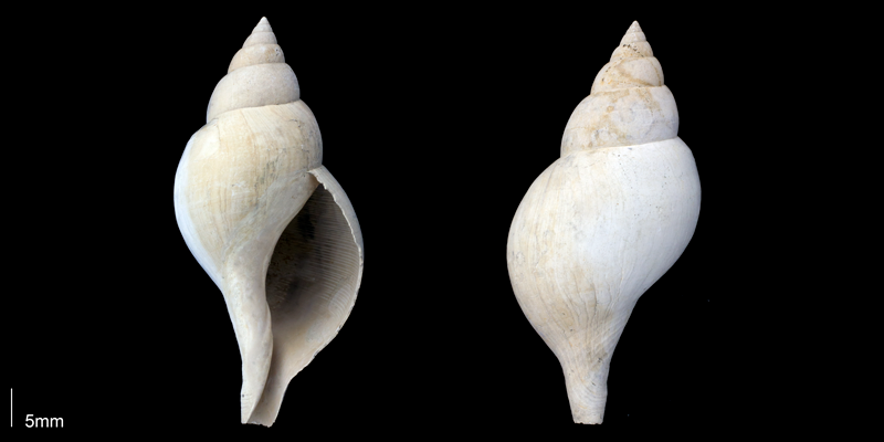 <i>Fasciolaria apicina</i> from the Late Pliocene Tamiami Fm. (Pinecrest Beds) of Sarasota County, Florida (PRI 70063).