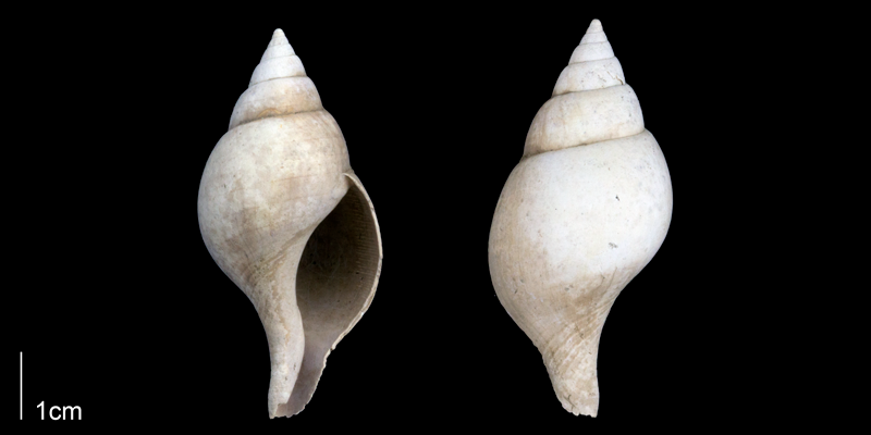 <i>Fasciolaria apicina</i> from the Late Pliocene Tamiami Fm. (Pinecrest Beds) of Sarasota County, Florida (PRI 70128).