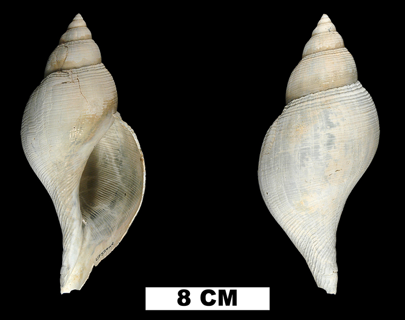 <i>Fasciolaria okeechobensis</i> from the Middle Pleistocene Bermont Fm. of Glades County, Florida (UF 55964).