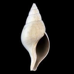 Fasciolaria rhomboidea