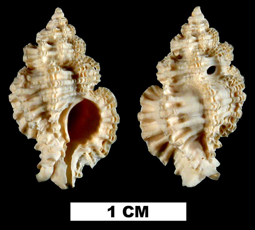 <i>Favartia cellulosa</i> from the Late Pliocene Tamiami Fm. (Pinecrest Beds) of Sarasota County, Florida (UF 138066).