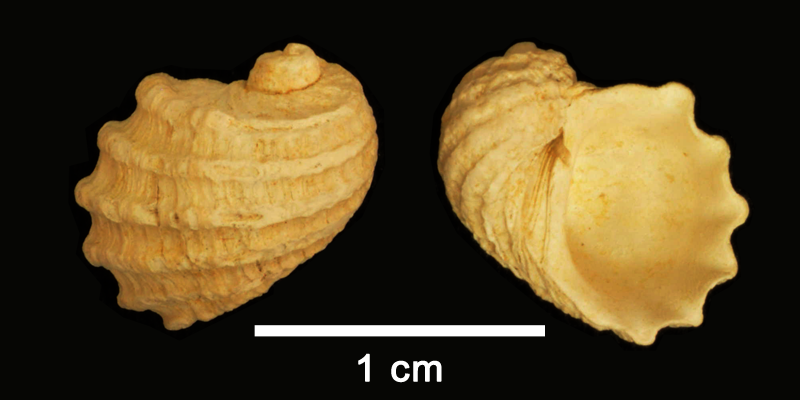 <i>Fossarus lyra</i> from the Pliocene Yorktown Fm. (Sunken Meadow Member) of Frederick County, Virginia (SDSM 109767).