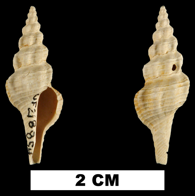 <i>Fusiturricula paraservata</i> from the Early Miocene Chipola Fm. of Calhoun County, Florida (UF 218854).