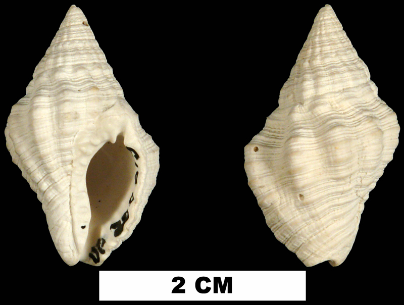 <i>Gemophos tinctus</i> from the Middle Pleistocene Bermont Fm. of Palm Beach County, Florida (UF 200615).