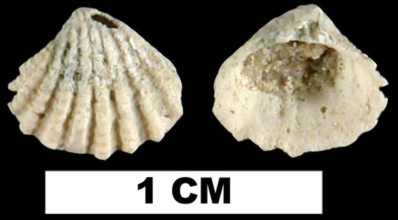 <i>Glans dominguensis</i> from the Late Pleistocene Fort Thompson Fm. of Hendry County, Florida (UF 191379).