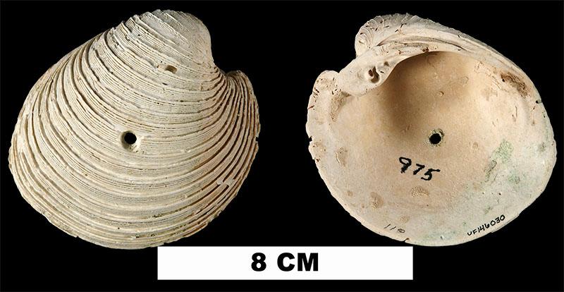 <i>Globivenus rigida</i> from the Middle Pleistocene Bermont Fm. of Glades County, Florida (UF 146030).