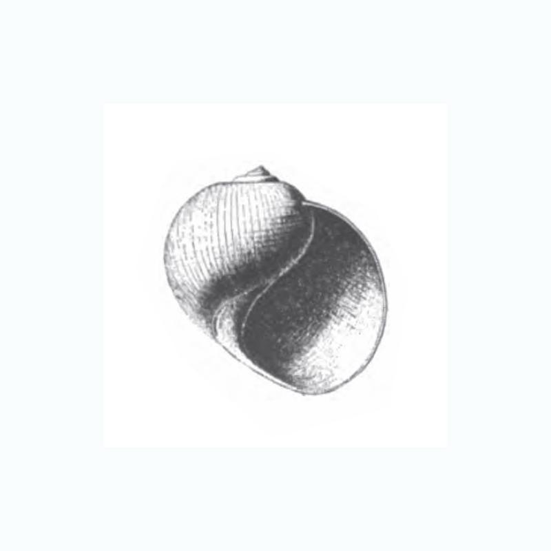 Specimen of <i>Globularia fischeri</i> figured by Dall (1892, pl. 22, fig. 36); 33.0 mm in length.