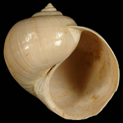 Globularia fischeri