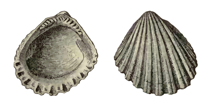 Specimen of <i>Glycymeris duplinensis</i> figured by Dall (1898, pl. 34, fig. 6 and 7); 10.0 mm in length.